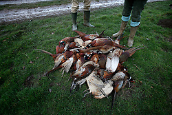 UK ENGLAND GRANTHAM 15DEC11 - Dead gamebirds are gathered during the pheasant shooting organised by Belvoir Castle Estate in Leicestershire, England...The shooting of game birds for sport involves the killing of millions of birds every year - over 35 million pheasants and 6.5 million partridges are produced to be used a live targets in the UK each year.....jre/Photo by Jiri Rezac..© Jiri Rezac 2011