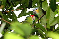 06 July 2008: A pair of parrots enjoy each others company and take turns grooming each other. (Photo by Alan Look)