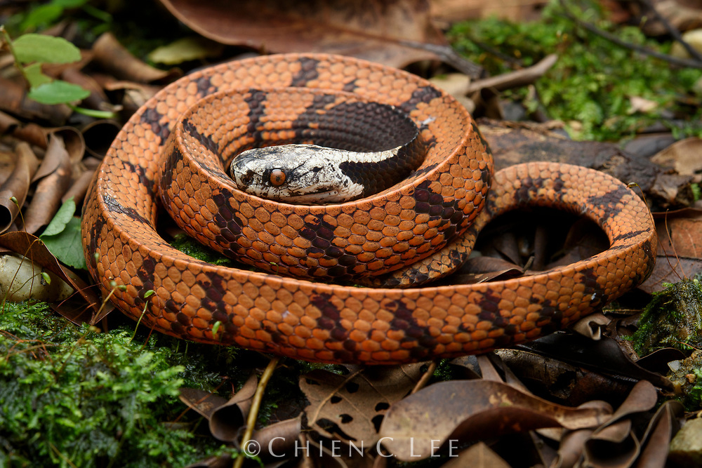 A juvenile Dark-necked Snail-eating Snake (Asthenodipsas malaccanus) displays a brighter coloration than the typically darker brown adults. Reaching up to 60cm in length, this nocturnal species feeds on slugs and snails in low vegetation. It ranges from Peninsular Malaysia to Sumatra and Borneo.
