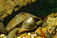 Map Turtle, Underwater
