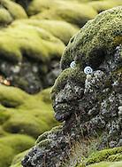 Imagined troll, Eldhraun, Iceland