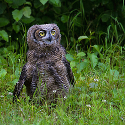 A fledgling great horned owl stands in a meadow.
