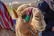 Portrait of a camel - Closeup