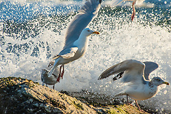 Herring Gulls are forced off the rocks by the incoming tidal waves.