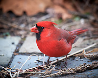 Male Northern Cardinal. Image taken with a Nikon D5 camera and 600 mm f/4 VR telephoto lens (ISO 1600, 600 mm, f/4, 1/60 sec).