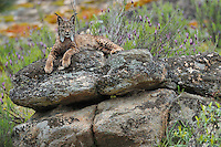 Iberian Lynx (Lynx pardinus) female<br />