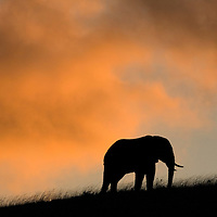 Africa, Tanzania, Ngorongoro Conservation Area, Silhouette of Bull Elephant (Loxodonta africana) standing on ridge above Ngorongoro Crater at sunset