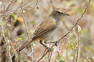 Nihoa Millerbird photos