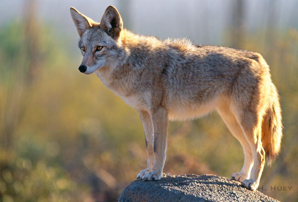 350103-1052E ~ Copyright: George H. H. Huey ~ Coyote [Canis latrans] at Arizona-Sonora Desert Museum. Tucson, Arizona.