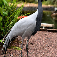 Demoiselle Crane at Busch Gardens in Tampa, Florida<br />