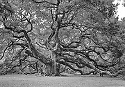 Black and White Angel Oak.