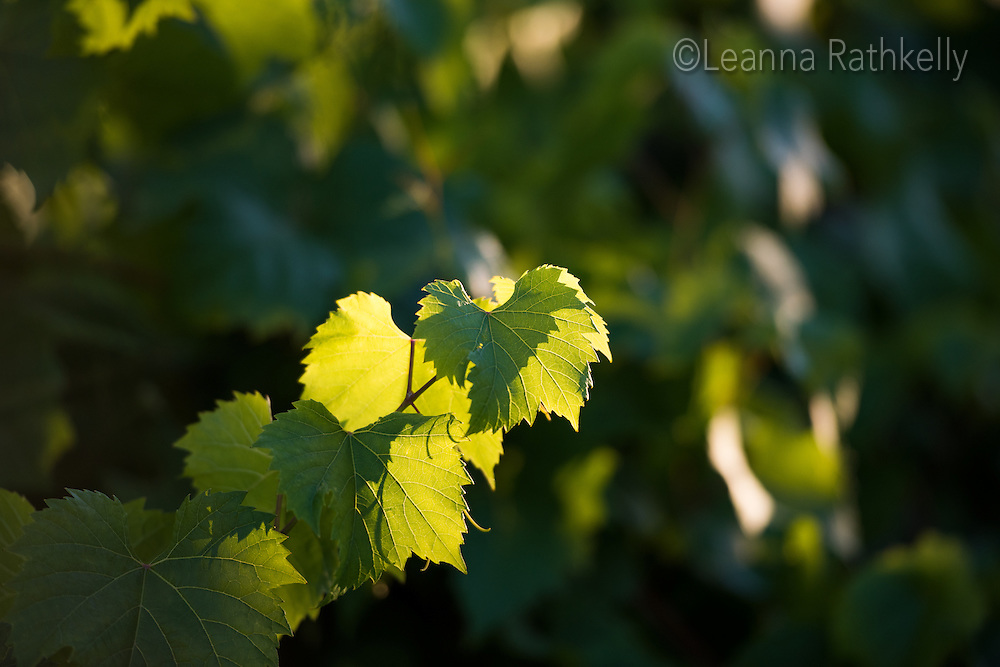 Late afternoon sun glows behind the green leaves of Ortega, a white wine grape, that grows abundantly on Vancouver Island.