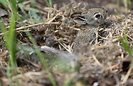 One of 6 bunnies pokes its head out of the nest, Sunday, May 26, 2013.