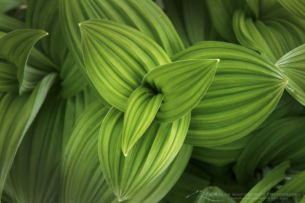 False hellebore/ Corn Lily (Veratrum viride)