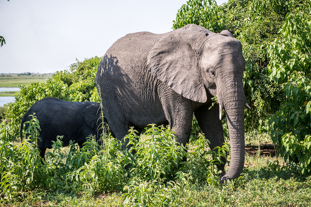 African bush elephant (Loxodonta africana) and her young stand in the midst of native vegetation as they forage for food, Chobe National Park - Botswana