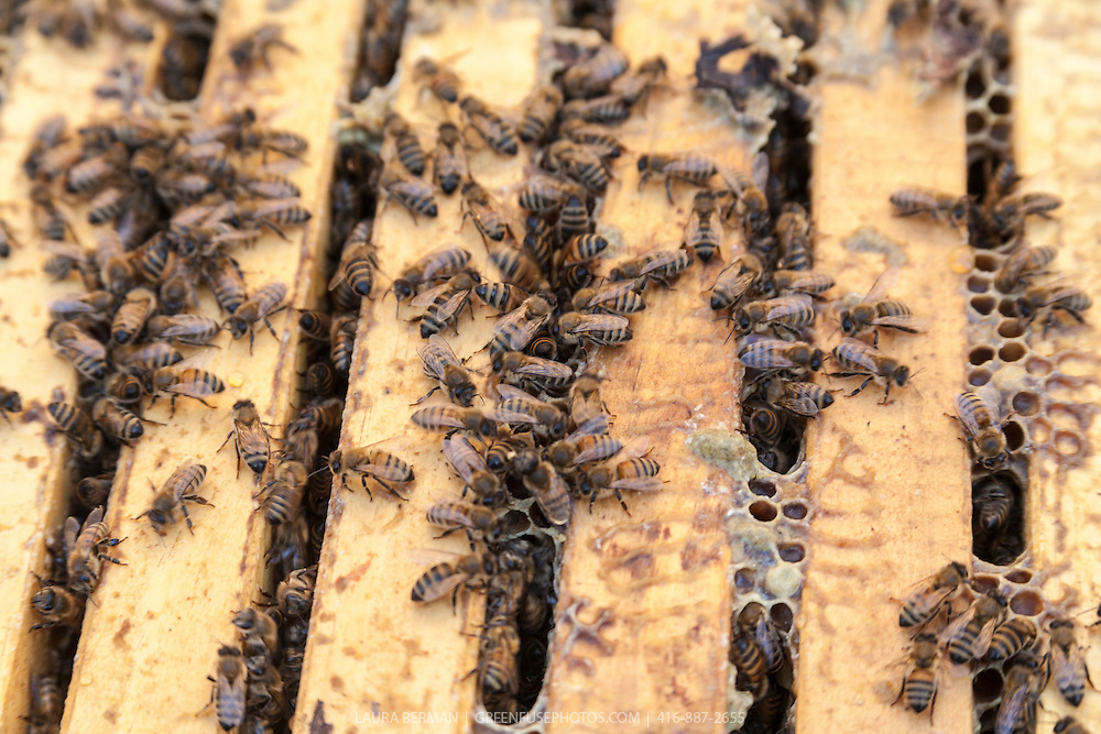 Honey bees in a Langstroth hive box.