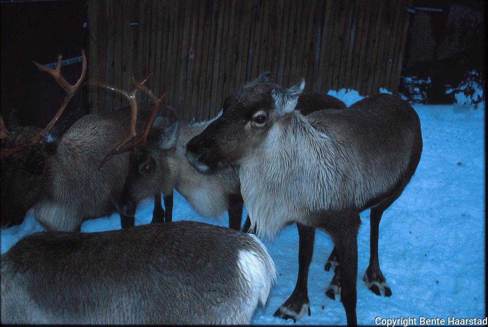 Sørsamisk reindrift i Nord-Trøndelag. Southsami reindeer herding in Mid-Norway.