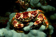 UNDERWATER MARINE LIFE HAWAII CRABS: Reef crab Xanthidae