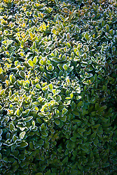 Low clipped box hedging in hoar frost. Buxus sempervirens