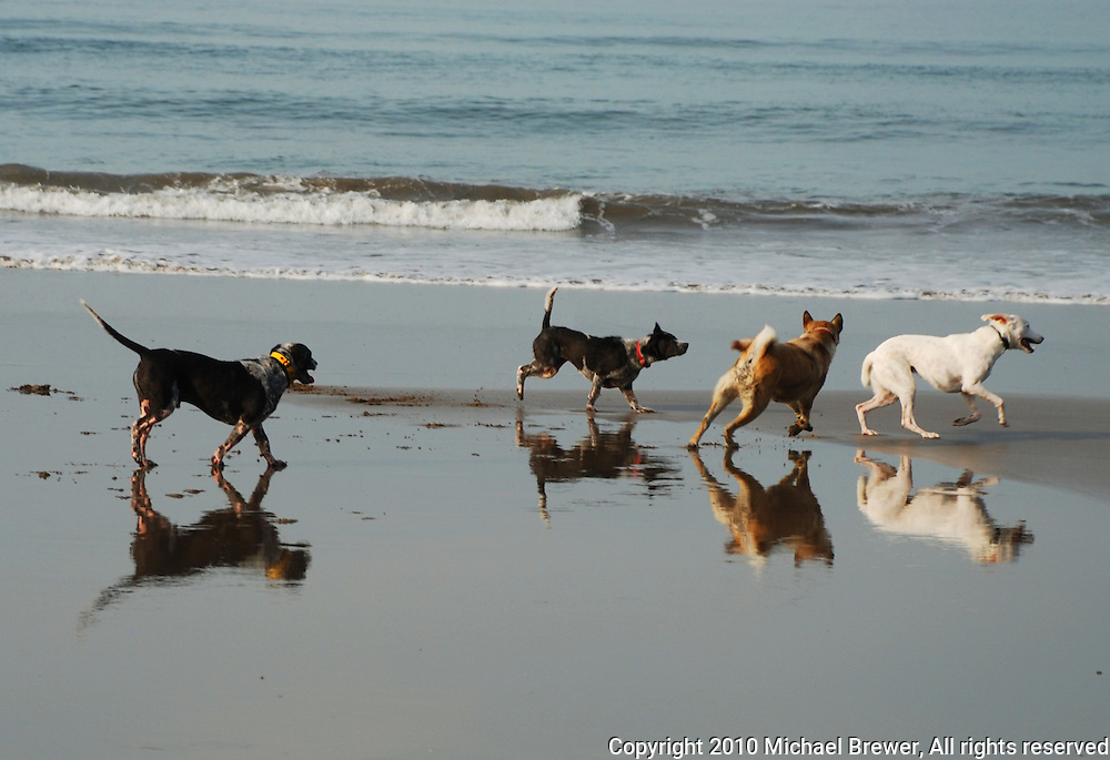 Four energetic dogs playing on a beach in Bali, Indonesia.