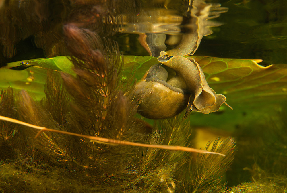 Great pond snail (Lymnaea stagnalis), Danube Delta, Romania. This is a species of large air-breathing freshwater snail in the family Lymnaeidae.