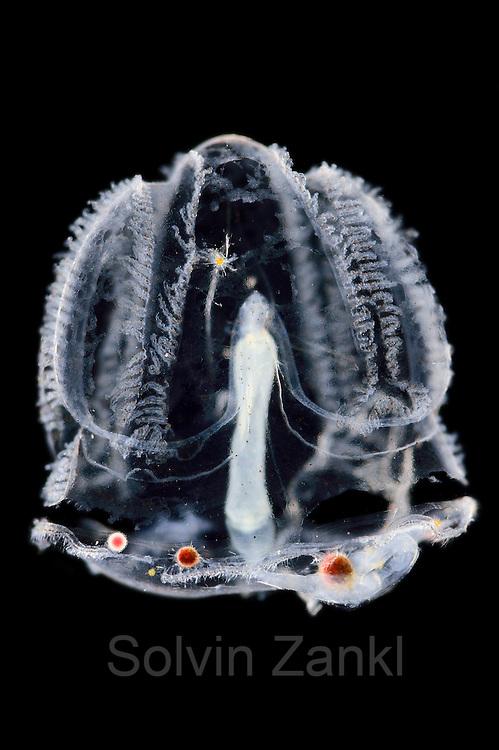 [captive] Larvenform der Enteropneusta (Acorn worms, Eichelwürmer).