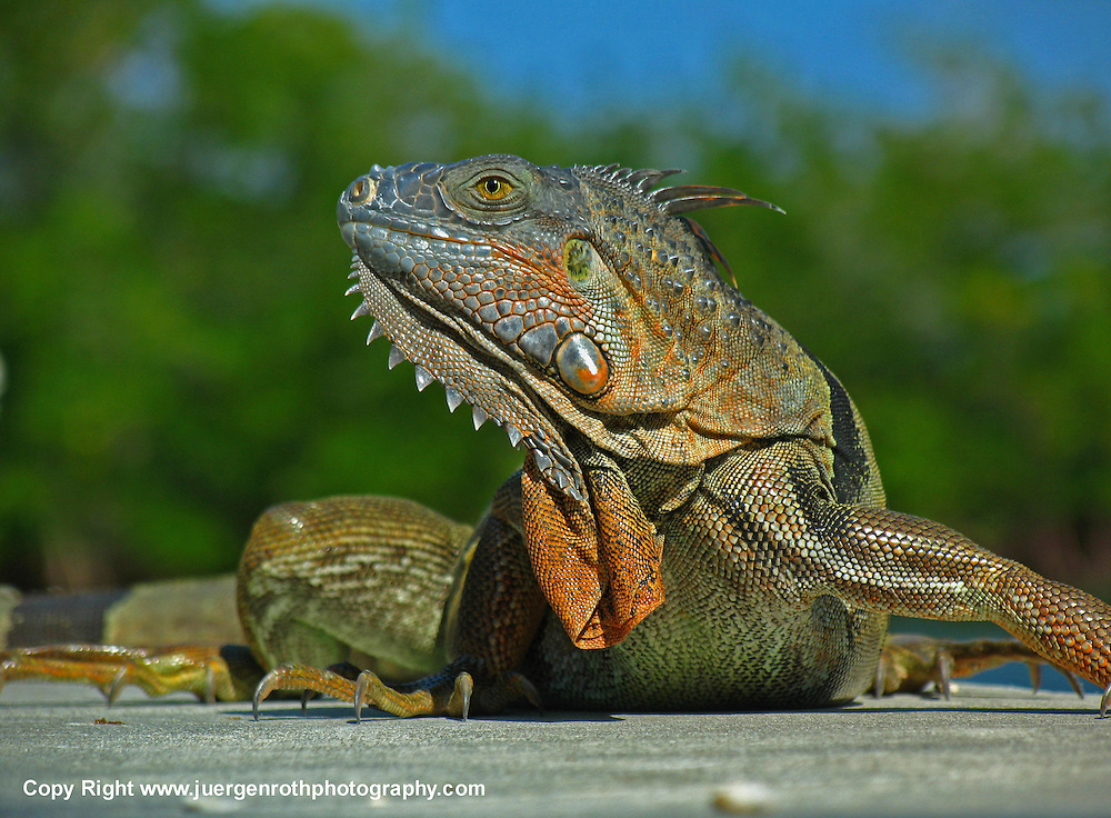 Iguana reptile photography in its natural Florida habitat at John Pennekamp Coral Reef State Park near Key Largo.<br /> <br /> Florida Keys wildlife photography image prints available at http://fineartamerica.com/featured/iguana-juergen-roth.html
