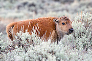 American Bison (Buffalo) calf in habitat