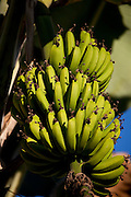 Jeceaba_MG, Brasil...Cacho de Banana Caturra em Jeceaba, Minas Gerais...The caturra banana bunch in Jeceaba, Minas Gerais...Foto: JOAO MARCOS ROSA / NITRO