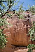 Cottonwood tree, Canyon de Chelly, Arizona, USA<br />