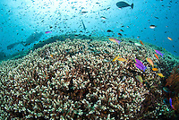 Diver and Hard Coral Reef Top with Anthias and Damsels...Shot in Bali, Indonesia