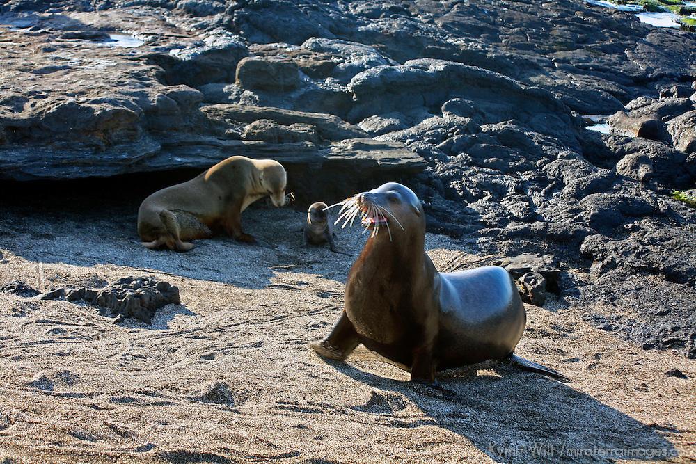 South America, Ecuador, Galapagos Islands, Santiago Island, James Island, Port Egas. A family of Sea Lions.