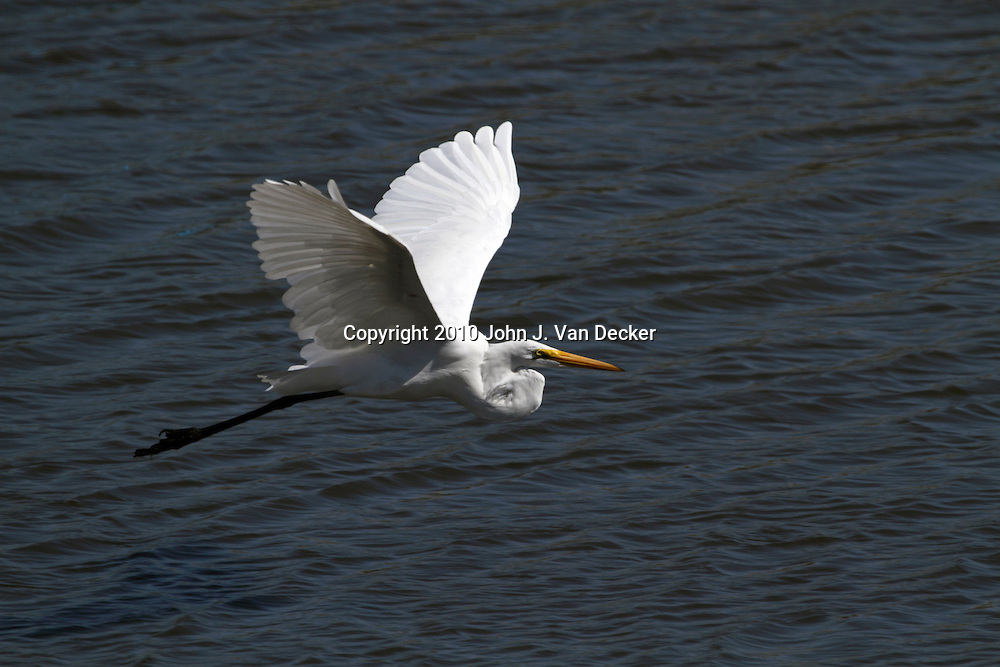 A Great Egret, Ardea alba, flying across the open water of a saltmarsh. Edwin B. Forsythe National Wildlife Refuge just north of Atlantic City, New Jersey, USA, North America.