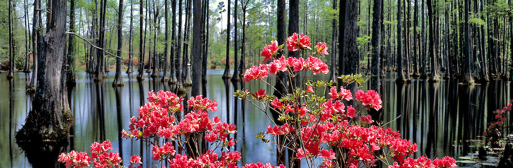 Azaleas and bald cypress trees at Cypress Gardens, South Carolina.