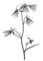 X-ray image of a 'Wedding Bells' bellflower stalk (Campanula punctata 'Wedding Bells', black on white) by Jim Wehtje, specialist in x-ray art and design images.