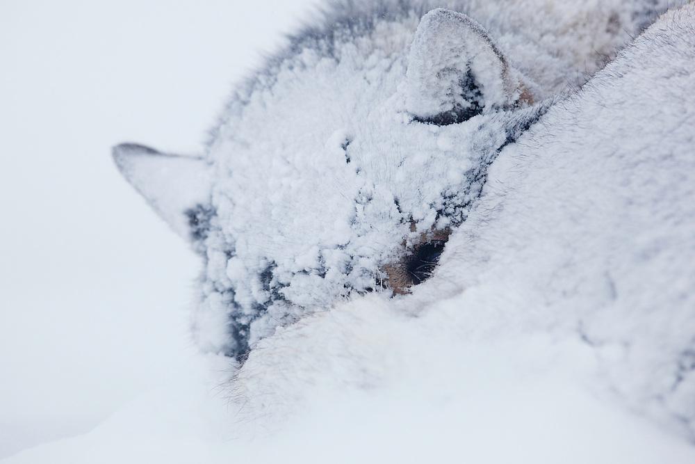 Sled dog, Canis lupus familiaris, Spitsbergen, Svalbard