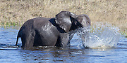 Elephant splashing in water, Savuti Channel (II)