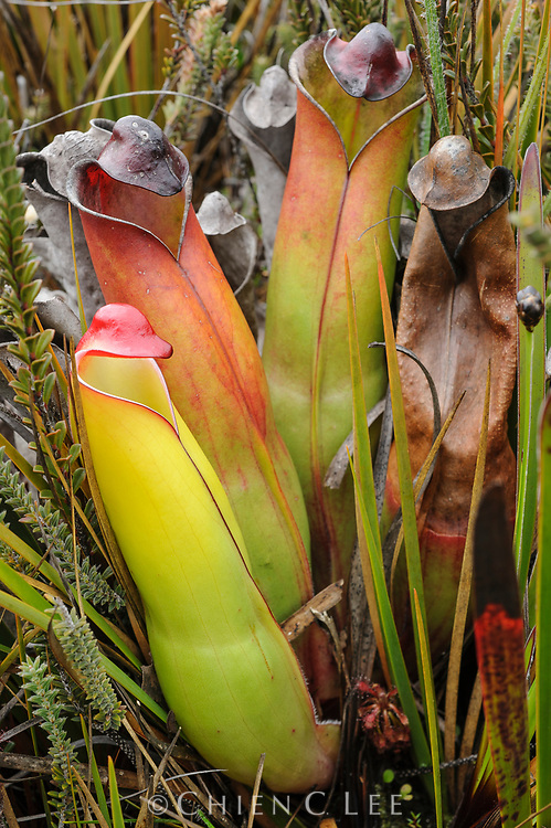 Pitcher plant (Heliamphora purpurascens) endemic to Ptari Tepui, a single sandstone tabletop mountain in the Guyana Highlands of Venezuela.