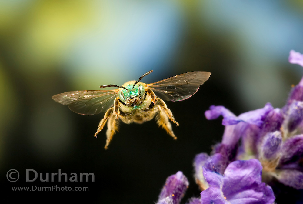 A halictid bee, or green metallic bee (Augochloropis sp.) in flight. Western Oregon.