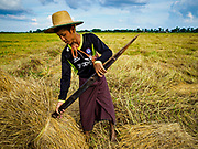 "21 NOVEMBER 2017 - MAUBIN, AYEYARWADY REGION, MYANMAR: A worker stacks freshly harvested rice at the edge of the paddy in the Ayeyarwady  Delta. Myanmar is the world's sixth largest rice producer and more than half of Myanmar's arable land is used for rice cultivation. The Ayeyarwady Delta is the most important rice growing region and is sometimes called ""Myanmar's Granary."" The UN Food and Agriculture Organization (FAO) is predicting that the 2017 harvest will increase over 2016 and that exports will surge to 1.8 million tonnes.   PHOTO BY JACK KURTZ"