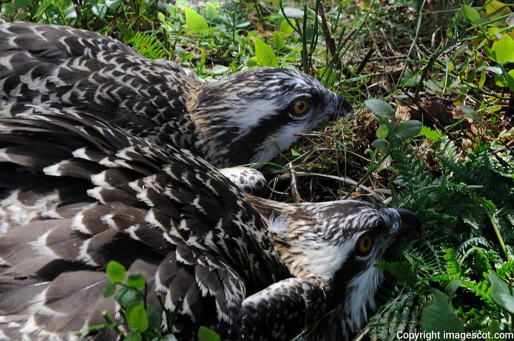 Osprey chicks ringing