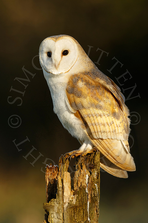 Barn Owl (Tyto Alba) adult perched on old post, Norfolk, UK.
