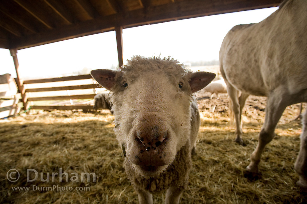 A domestic sheep ewe on a small family ranch. Sauvie Island, Oregon. Property Released.