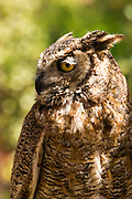 Spotted eagle owl (Bubo africanus)