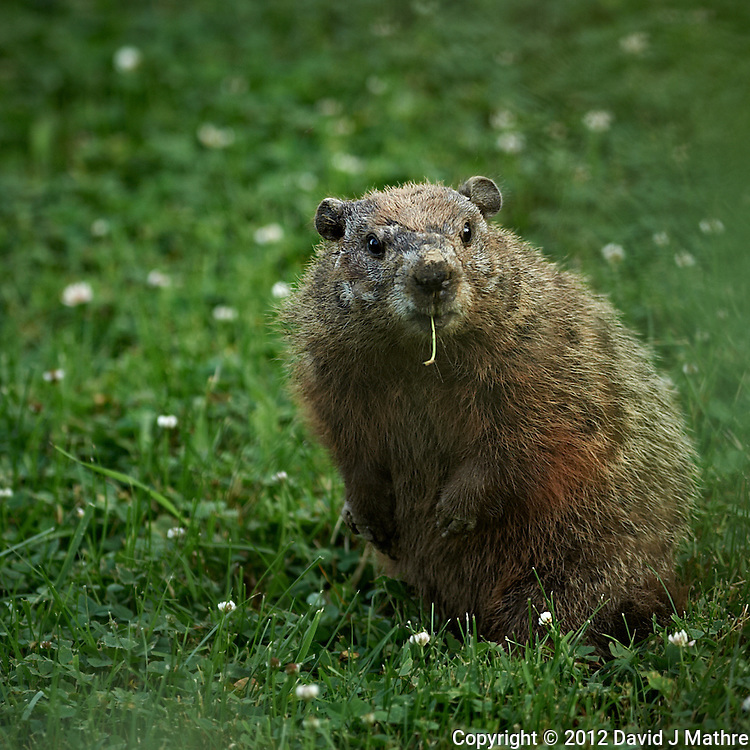 Shy Groundhog in My Backyard. Last Day of Spring in New Jersey. Image taken with a Nikon D3s and 300 mm f/2.8 VR lens (ISO 250, 300 mm, f/2.8, 1/320 sec).