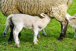 Lambs feeding from their mum on a farm in the Scottish Borders<br /> <br /> (c) Andrew Wilson | Edinburgh Elite media