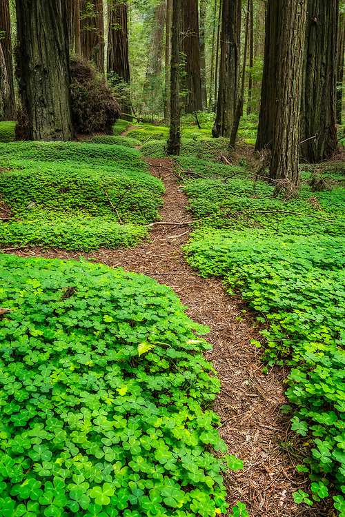 A small pathway leads you through the redwood sorrel and around the towering redwood trees in the Grieg-French-Bell Grove, part of the Humbolt Redwoods State Park in California.