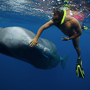 Andrew Armour petting 10-year old male sperm whale Scar, a whale that sought out interactions with people. Photograph taken under permit in Dominica.