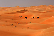 "United Arab Emirates: Abu Dhabi Province<br /> A camel train crossing the desert near the ""Empty Quarter"""