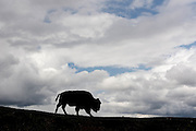 Silhouette of a bison in the Hayden Valley